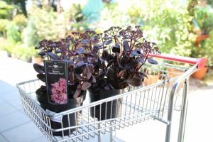 poza Flori de gradina perene Sedum telephium Touchdown (frunze rosii)