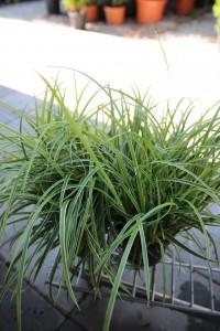 Poza Ierburi graminee decorative Carex Ice Dance. Poza 13139