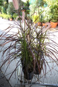 poza Ierburi graminee Pennisetum alopecuroides RUBRUM