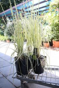 poza Ierburi graminee Cortaderia selloana  (iarba de pampas) h=50-60 cm