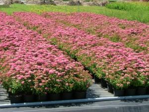 Poza Arbusti Spiraea japonica Little Princess  (spirea)  ghiveci 3 litri, 20-30 cm. Poza 13149
