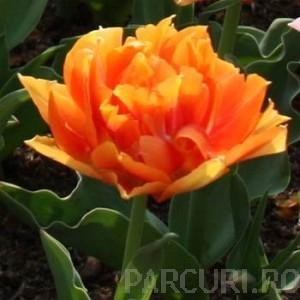 Poza Bulbi de lalele Willem Van Orange, 7 BUC./Punga, flori duble, portocalii