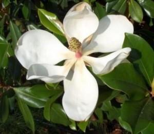 poza Magnolia grandiflora Gallissoniensis  Grandiflora Alta ( rezistenta la ger ) h=50  -80 cm ghiv 7 l