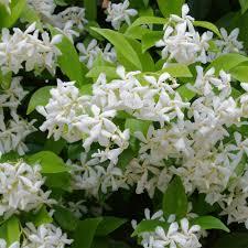 poza Planta parfumata cataratoare Rhinocospermum jasminoides (jasminum) , h =80 -100  cm ghiv 3 l