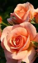 Poza Trandafiri de gradina cu radacina ambalata soiul Bettrose Aprikola  - LA GHIVECI 3 L. Poza 13256