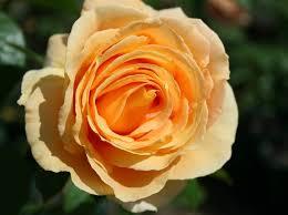 Poza Trandafiri de gradina cu radacina soiul CANDLELIGHT  ghiv 3 l. Poza 13258