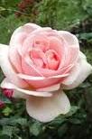 poza Trandafiri de gradina cu radacina Aphrodite la ghiveci de 3 litri