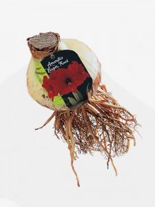 poza Bulbi Amaryllis Super Rood 1 buc/pachet, culoare rosu - crin de camera