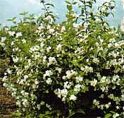 poza Arbusti parfumati PHILADELPHUS CORONARIUS (iasomie) h=80-100cm ghiveci 5 litri