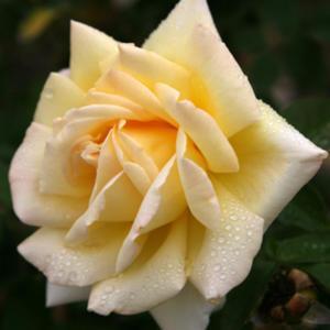 poza Trandafiri de gradina la ghiveci soiul  AMATSU OTOME