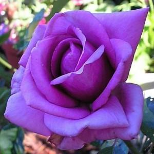 poza Trandafiri de gradina cu radacina ambalata soiul EMINENCE