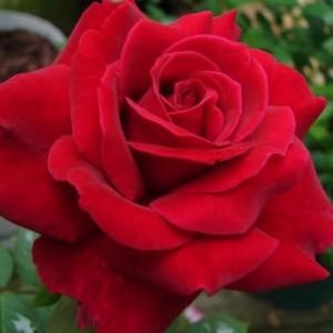 poza Trandafiri de gradina cu radacina ambalata soiul MISTER LINCOLN