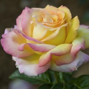 poza Trandafiri de gradina cu radacina ambalata soiul MME A MEILLAND