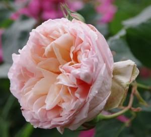 poza Trandafiri de gradina cu radacina ambalata soiul BELLE ROMANTICA