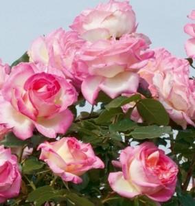 poza Trandafiri de gradina cu radacina ambalata soiul GPT PRINCESSE DE MONACO