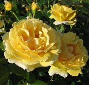 poza Trandafiri de gradina cu radacina ambalata soiul MICHELANGELO