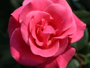 poza Trandafiri de gradina cu radacina ambalata soiul ROMANZE