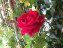Trandafiri de gradina Teahibrizi sau Polyantha