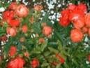 Trandafiri pitici de gradina