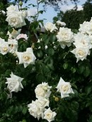 Trandafiri urcatori, cataratori