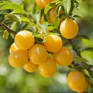 poza Pomi fructiferi pruni pe rod soiul Mirabelle de Nancy  1/2 F , la ghiveci de 15l