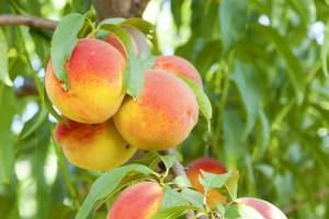 poza Pomi fructiferi piersici pitici pe rod, soiul Persica Bonanza 1/4 F, la ghiveci de 12l