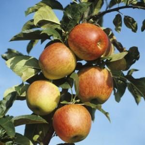 poza Pomi fructiferi meri soiul Reine de Reinette 1/2F, pe rod, ghiveci 15l