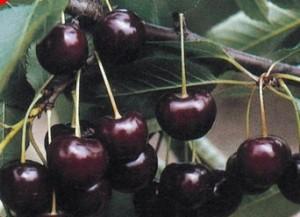 poza Pomi fructiferi la ghiveci visini  soiul ERDI BOTERMO