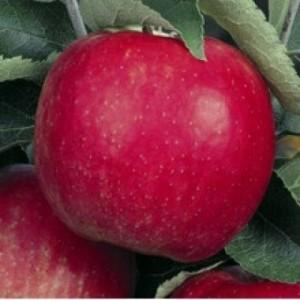 poza Meri la ghiveci, soiul Jonagold, pomi fructiferi altoiti