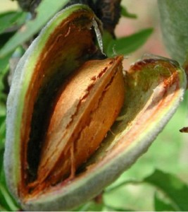poza Pomi fructiferi la ghiveci , Migdal pe rod  soiul PRINCESSE