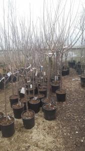 Poza Pomi fructiferi Ciresi soiul `Van` 1/2F, pe rod, ghiveci 15l. Poza 13783