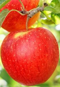 poza Pomi fructiferi cu radacina ambalata, meri soiul PINOVA, puieti cu radacina ambalata