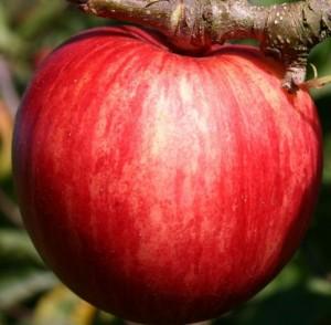 poza Pomi fructiferi cu radacina ambalata, meri soiul PIROS, puieti cu radacina ambalata