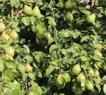 poza Peri soiul  Novembra  Puieti fructiferi altoiti, cu radacina ambalata