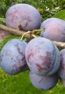 Poza Pomi fructiferi Pruni soiul Bluefree Puieti fructiferi cu radacina ambalata. Poza 13883