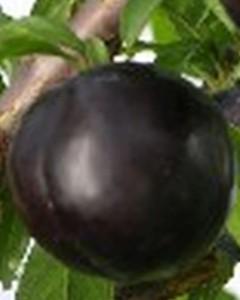 poza Fructiferi Pruni soiul Black Amber Puieti pomi altoiti, cu radacina ambalata