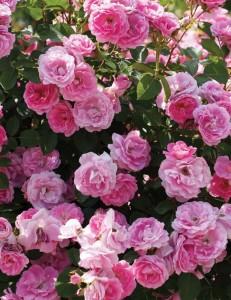 poza Trandafiri de gradina Floribunda Modern Centennial la ghiveci de 2l