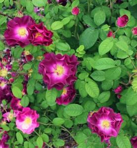 poza Trandafiri de gradina Polyantha Merveille la ghiveci de 2l
