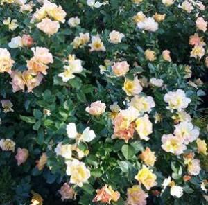 poza Trandafiri parfumati de gradina Floribunda Modern Sunrise, planta  ghiveci de 2 litri