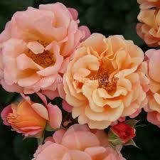 poza Trandafiri de gradina  la ghiveci soiul  ROSSA CUBANA