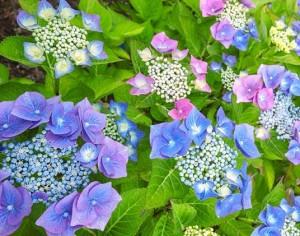 poza Arbusti gradina HYDRANGEA MACROPHYLA TELLER purple (hortensia) h= 40cm ghiveci 10 litri