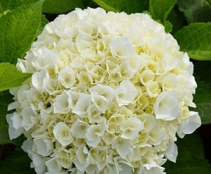 poza Arbusti gradina Hydrangea macrophylla  Wudu h=30cm ghiveci 3 litri