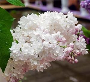 poza Liliac parfumat cu flori duble SYRINGA VULGARIS BEAUTY OF MOSCOW  ghiveci 18 l,h=120-140 cm