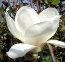 poza Magnolia soulangeana Alba Superba h=40-50cm