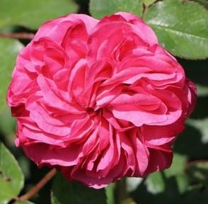poza Trandafiri de gradina cu radacina Baronesse la ghiveci de 3 litri