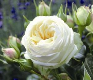 poza Trandafiri de gradina cu radacina Weding Piano la ghiveci de 3 litri