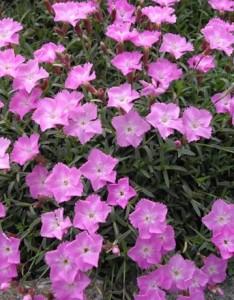 poza Flori de gradina perene GAROFITE / DIANTHUS GRATIANOPOLITANUS La Bourboule