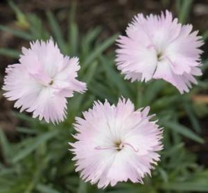 poza Flori de gradina perene GAROFITE / DIANTHUS Whatfield Wisp