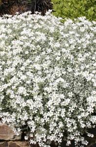 poza Flori de gradina perene Cerastium tomentosum, culoare alb