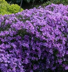 poza Flori de gradina perene Phlox Subulata Purple Beauty ghiveci diametru 9 cm